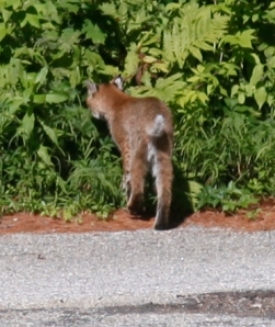 Bobcat back